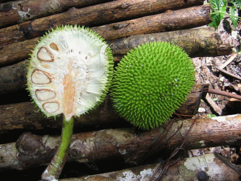 Плоды хлебного дерева можно запечь или сварить, но местные жители